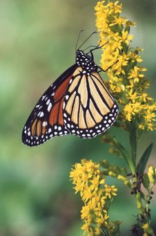 Free Butterfly Royalty Free Stock Image - 5819846