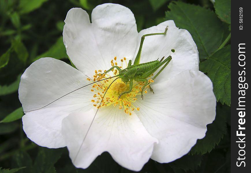 Grasshopper on the dog-rose flower