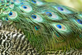 Free Peacock Feathers Stock Image - 5823711