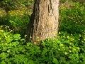 Free Ranunculus Near Tree Stock Photos - 5824303