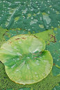 Free Lotus Leaf Stock Photography - 5824632