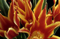 Free Flamming Tulips Royalty Free Stock Images - 5824769