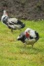 Free Domestic Fowl Royalty Free Stock Photo - 5824965