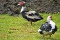 Free Domestic Fowl Stock Photos - 5825253