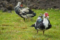 Free Domestic Fowl Royalty Free Stock Image - 5825286