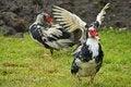 Free Domestic Fowl Royalty Free Stock Photos - 5825368