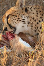 Free Cheetah On A Kill Royalty Free Stock Photo - 5827785