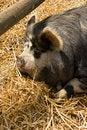 Free Sleeping Pig Stock Photo - 5828780