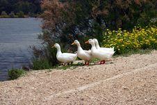 Free Ducks In A Row Stock Photos - 5820223