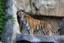 Free Tiger Royalty Free Stock Photography - 5820507