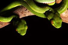 Free Green Snake Royalty Free Stock Photography - 5820517