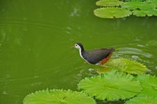 Free Water Bird And Water Lily In The Pond Stock Image - 5820541