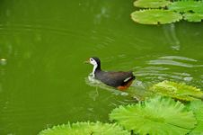 Free Water Bird And Water Lily In The Pond Stock Photography - 5820542