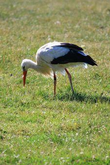 Free Stork Stock Photo - 5821690
