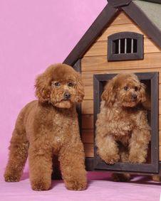 Free Toy Poodle Teddy Bear Stock Photos - 5821733