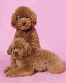 Free Two Toy Poodles&teddy Bear Stock Photo - 5821870