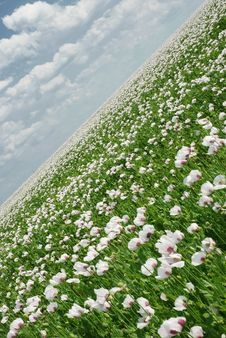 Free Poppy Field Stock Images - 5822014