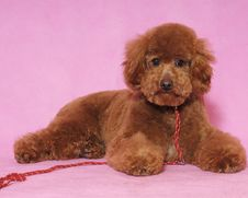 Free Toy Poodle&teddy Bear Royalty Free Stock Image - 5822096