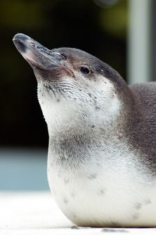 Close Up Penguin Royalty Free Stock Image