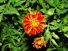 Free Marigold. Stock Photography - 5823132