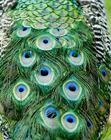 Free Peacock Feathers Stock Images - 5823754