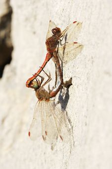 Dragonflies Stock Photo