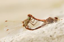 Dragonflies Profile Royalty Free Stock Photo