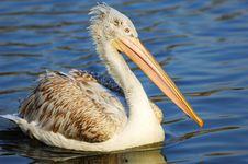 Free Pelican On Lake Royalty Free Stock Photography - 5823937