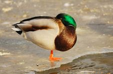 Resting  Duck Royalty Free Stock Photos