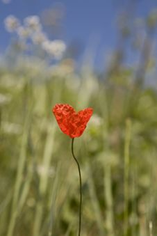 Free Red Poppy Stock Photography - 5824032