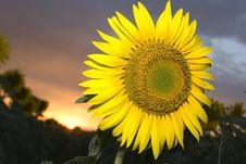 Free Sunflower At Sunset Stock Photos - 5824033