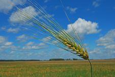 Free Ear Of Barley. Stock Photography - 5824172