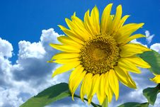 Free Sunflower Stock Photos - 5825363