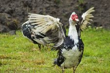 Free Domestic Fowl Royalty Free Stock Image - 5825406