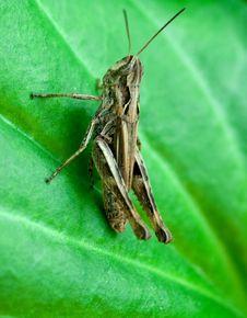 Free Grasshopper Stock Photography - 5825412