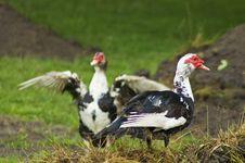 Free Domestic Fowl Stock Photo - 5825620