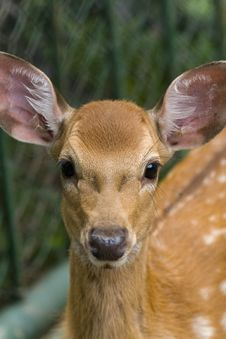 Baby Spotted Deer Stock Image