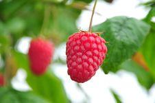 Free Raspberry Stock Image - 5825801