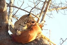 Free Leopard In A Tree With Kill Stock Image - 5826491