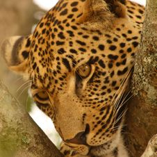 Free Leopard In A Tree Royalty Free Stock Photo - 5826515