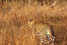 Free Leopard In The Sabi Sands Stock Images - 5826594