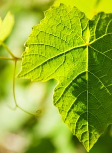 Free Wild Grape Leaf Stock Image - 5826611