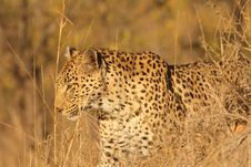 Free Leopard In The Sabi Sands Stock Images - 5826744