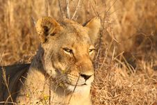 Free Lioness In Sabi Sands Stock Photo - 5826860