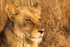 Free Lioness In Sabi Sands Royalty Free Stock Image - 5826906