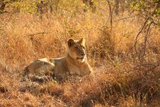 Free Lioness In Sabi Sands Royalty Free Stock Photography - 5827037
