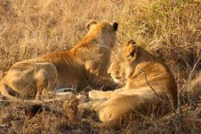 Free Lioness In Sabi Sands Stock Image - 5827111