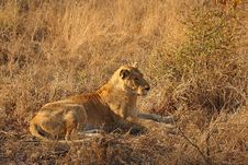 Free Lioness In Sabi Sands Stock Photos - 5827213