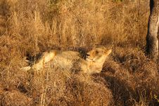Free Lioness In Sabi Sands Stock Photos - 5827253