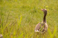Free Geese Royalty Free Stock Photography - 5827477